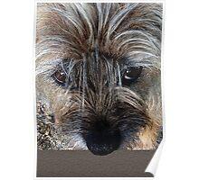 Border Terrier portrait Poster