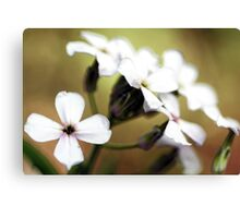 -White Campion Canvas Print