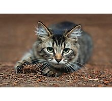 Tabby Kitten Ready To Pounce Photographic Print