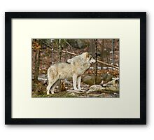 Solitary Timber Wolf Framed Print