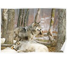 Watchful Timber Wolf Poster