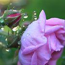 Morning Dew on Rosebud by Joy Fitzhorn