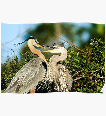 Great Blue Herons Adult and Young Poster
