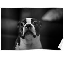 Guilty Boston Terrier Poster