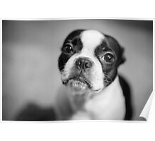 Innocent Boston Terrier Poster