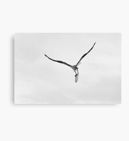 Bird of Prey Carrying Fish Canvas Print