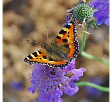 Butterfly on Scabious Photographic Print