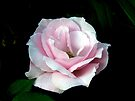 Pink Rose by Kathy Weaver