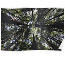 Warburton Redwood Poster