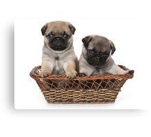 Funny cute pug puppies Canvas Print