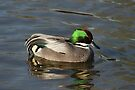 Falcated Duck by Yampimon