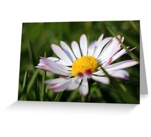 Pink tipped daisy Greeting Card