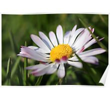 Pink tipped daisy Poster