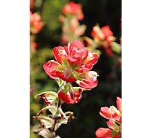 The Indian Paint Brush Photographic Print