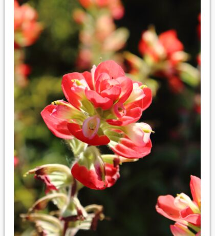The Indian Paint Brush Sticker