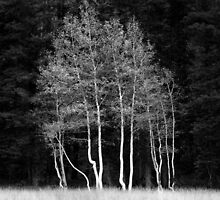 Maples, Kaibab Forest, USA by Jonathan Maddock