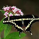 Wonderful Butterfly's by glink