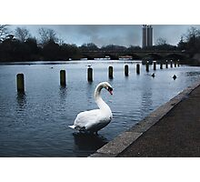 London: the king swan in the royal lake Photographic Print