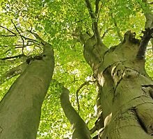 Beech Wood by Kat Simmons