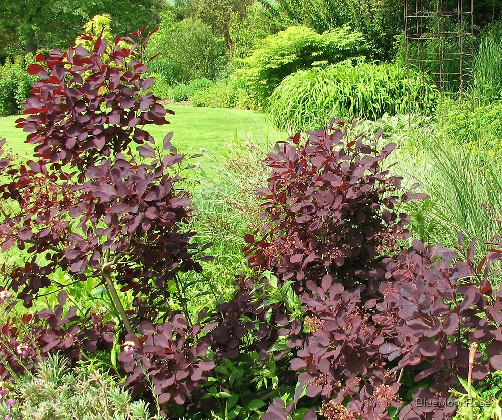 Shrubs with Copper Coloured Leaves - Hyde Hall, Essex by BlueMoonRose