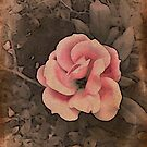 Pink rose by DonaldCole