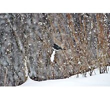 Dark-eyed Junco in the Snow Storm Photographic Print