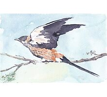Greater-striped Swallow - (Cecropis cucullata) Photographic Print