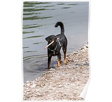 dog play at lakedog play at lake Poster