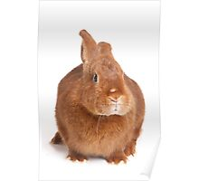 Funny red gray rabbit Poster
