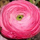 Ranunculus by vbk70
