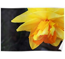 Shy Double Daffodil Poster