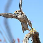 Falcon Take-Off by Kathleen Brant