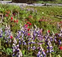 Lupine and Paintbrush Blooming at Indian Bar Sticker