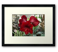 Christmas Red Amaryllis Flowers Framed Print