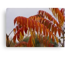 The Fiery Colors of the Autumn Sumac Canvas Print