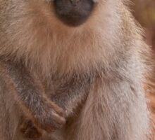 Vervet Monkey at Pafuri, Kruger National Park, South Africa Sticker