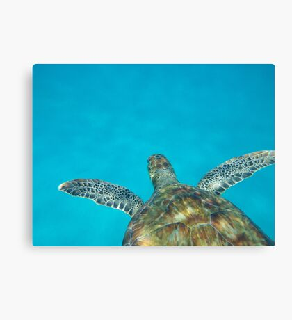 Sea Turtle Swimming in the Caribbean Canvas Print
