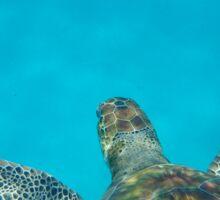 Sea Turtle Swimming in the Caribbean Sticker