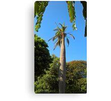 Chilean Wine Palm, Geelong Botanic Gardens. Canvas Print