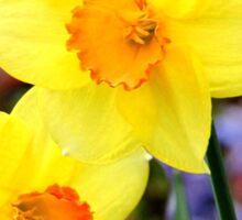 Dainty daffodils Sticker