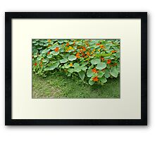 Nasturtium Patch Framed Print