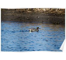 Green-Winged Teal Drake Poster