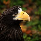 Stellars Sea Eagle II by Daniela Pintimalli