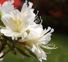 Delicate White Azalea by Linda Makiej