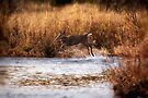 White Tail Deer jumping into the Creek - Parc National Mont Tremblant by Yannik Hay