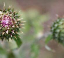 Thistle Flowerbuds- Riggs Lake, AZ Sticker