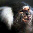 The common marmoset (Callithrix jacchus) by DutchLumix