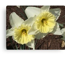 Spring Doubles - Flowers Daffodil's  Canvas Print
