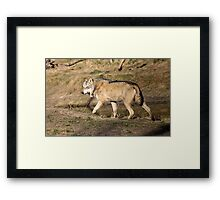 The Eurasian wolf (Canis lupus lupus) Framed Print
