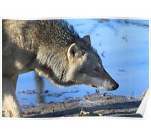 The Eurasian wolf Poster